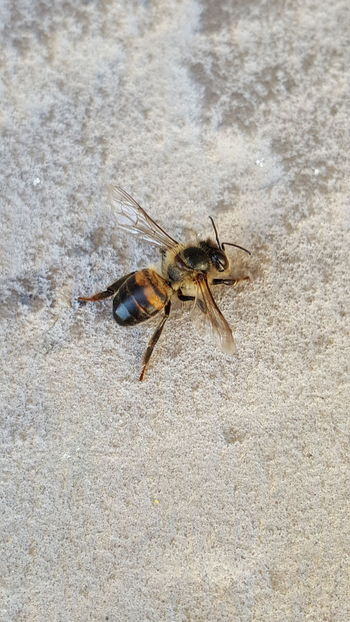 One Animal Animal Themes Insect Animals In The Wild Close-up Animal Wildlife Nature No People Outdoors Day Lieblingsteil Dead Bee Little Bee Honey Honey Bee HoneyBee Bee 🐝 Bees And Flowers Jumping Spider Yellow Nature Spotted Bee