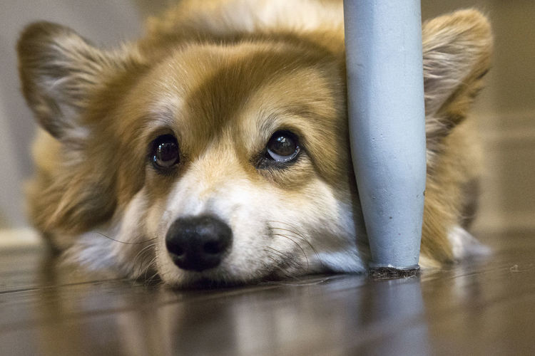 Close-up of dog looking away while lying on hardwood floor at home