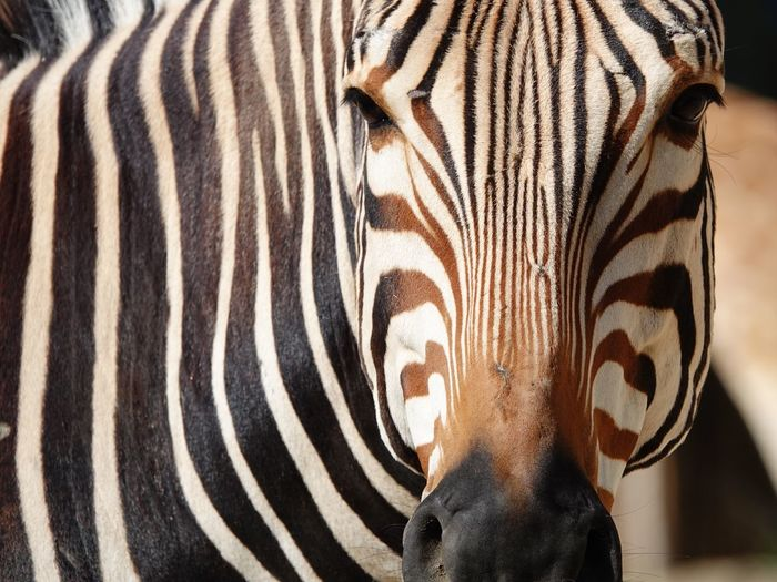 Equus Animal Head  Looking At Camera Zebra Striped Animal Animal Themes Mammal Animal Wildlife Close-up Animals In The Wild One Animal Pattern No People Animal Markings Natural Pattern Herbivorous Vertebrate Day Safari