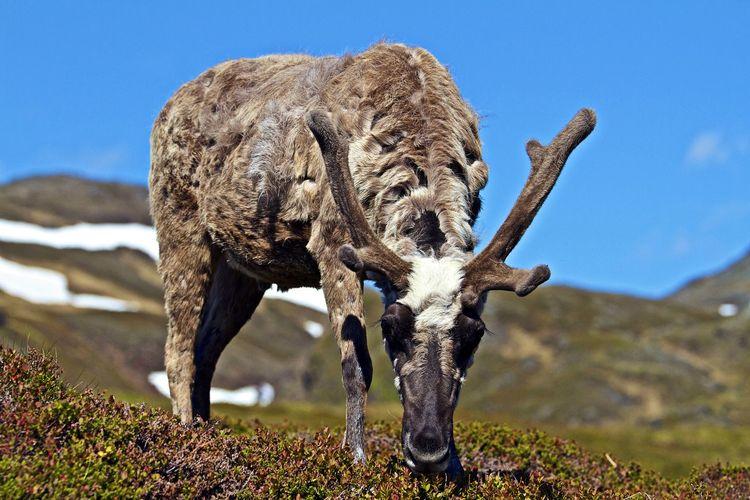 Horned animal grazing on landscape