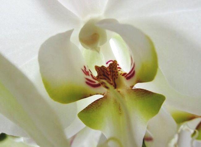 Flowers Orchids Phaelanopsis Botany Close-up Pastel Power Things I Like