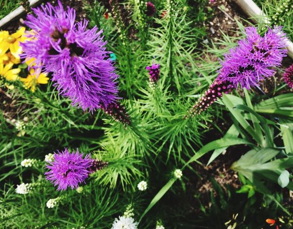 Purple Flower Nature Growth Plant Beauty In Nature No People Fragility Summer Outdoors Freshness Day Close-up Blooming Thistle Flower Head