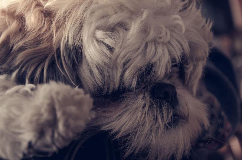 Pet Portraits Pet Photography  Agameoftones Artofvisuals Vibesofvisuals TheWorldThroughMyLens Lifeasiliveit Shih Tzu Close-up Domestic Animals Pets Dog