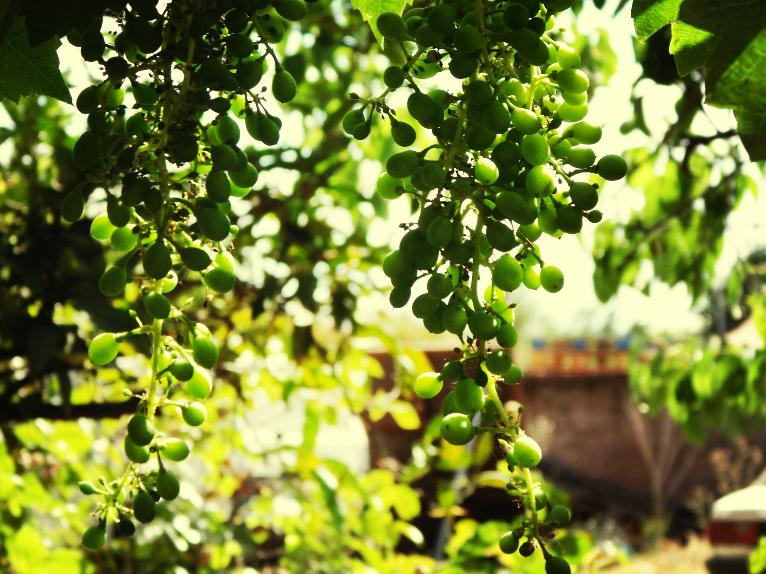 tree, leaf, growth, green color, branch, low angle view, focus on foreground, nature, plant, close-up, day, fruit, outdoors, green, selective focus, growing, hanging, no people, sunlight, lush foliage