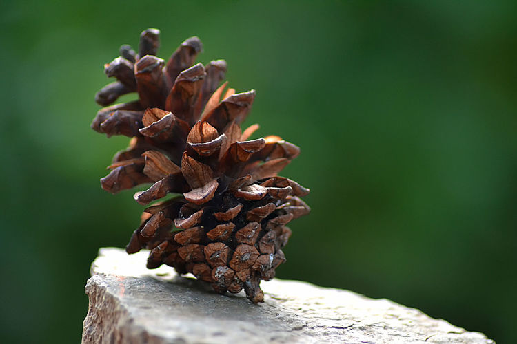 Pine cones in the morning Focus On Foreground Nature Tree Outdoors Green Color Close-up No People Plant Day Brown Selective Focus Wood - Material Beauty In Nature Pine Cone Growth Dry Pattern Vulnerability  Tranquility Tree Trunk Pine Tree Coniferous Tree Bark Dried First Eyeem Photo