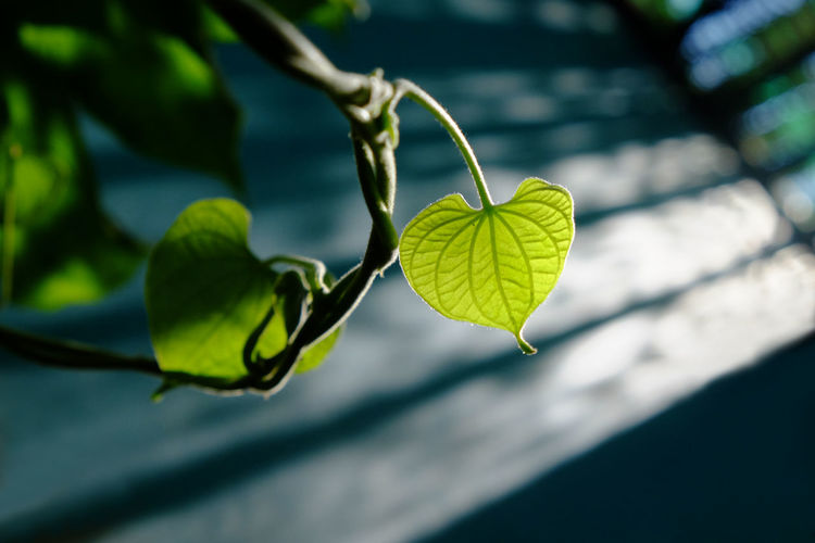 Heart leaves Couple Happy Heart Leaves Beauty In Nature Beginnings Close-up Focus On Foreground Fragility Freshness Green Color Growth Heart Heart Shape Leaf Leaves Light And Shadow Lighting Nature No People Outdoors Plant Selective Focus Sunshine