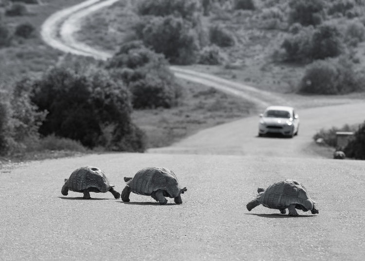Animal Beauty In Nature Black And White Photography Day Landscape Monochrome Nature Nature Photography No People Outdoors Survival Tortoise Crossing Tortoise Race Tortoises Transportation Wildlife