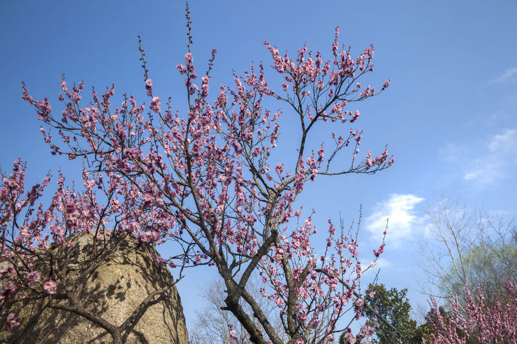Plum Blossom views Plum Blossoms And Sky Plum Blossom Views Plum Blossom Plum Blossoms Plant Sky Tree Beauty In Nature Flower Low Angle View Growth Flowering Plant Branch Nature Springtime Pink Color Tranquility Clear Sky Blue Sky Fragility Outdoors Blossom No People Day