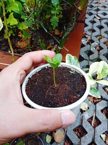 แอปเปิ้ลเพาะจากเมล็ด Apple From Seed Human Hand Women Holding High Angle View Close-up Plant