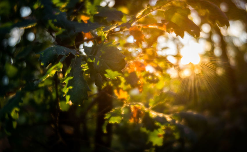 Close-up of sunlight streaming through leaves
