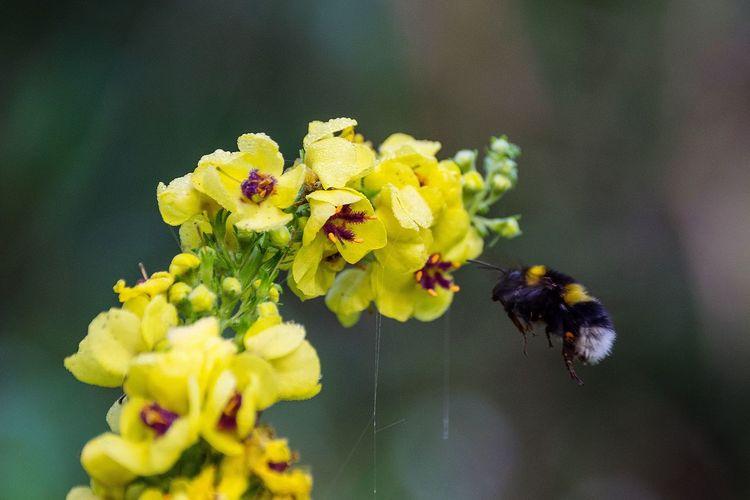 Hummel im Anflug auf Königskerze Nahaufnahme Sammeln Nektar Fleissig Hummel Königskerze Fliegend Insekt Blumen Gelb Offene Blüten Bumblebee Mullein Flower Head Flower Yellow Petal Close-up Yellow Color Blooming