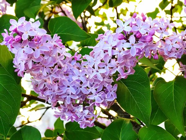 Syringa Lilac Lilac Flower Flower Beauty In Nature Purple Growth Freshness Fragility Nature Heart Petal Plant Outdoors No People Scented Day Blooming Close-up Flower Head Branch Blooming Bushes Environment Springtime Spring