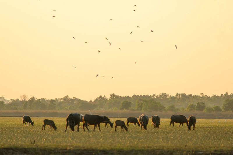 Buffalo Water Lake Group Of Animals Animal Wildlife Swimming River Swamp Lagoon Copy Space Countryside Farm Field Meadow Nature Outdoors Mammal Animal Themes Animal Wildlife Sunlight Sunset Wild Eating