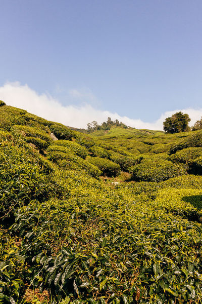 Agriculture Sunlight Beauty In Nature Blue Sky Day Environment Field Green Color Growth Idyllic Land Landscape Nature No People Non-urban Scene Outdoors Plant Scenics - Nature Sky Tea Plant Tea Plantation  Tea Plantation Terrace Tranquil Scene Tranquility Tree