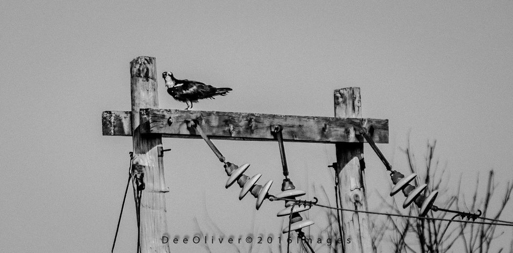 Black And White Photography Ospreys, Ospreys Nesting, Birds Nesting, Birds, Wildlife Nature Photography Eye Em Nature Lover Wildlife & Nature Wildlife Photography Canada Coast To Coast EyeEm Best Shots EyeEm Nature Lover EyeEm Best Shots - Landscape Shillouette Ontario, Canada How's The Weather Today? Getting Inspired Light And Shadow Beautiful Nature Eye For Photography Beauty In Nature Check This Out Osprey  Enjoying Life EyeEm Best Shots - Nature Nikonphotography Nikon D7200