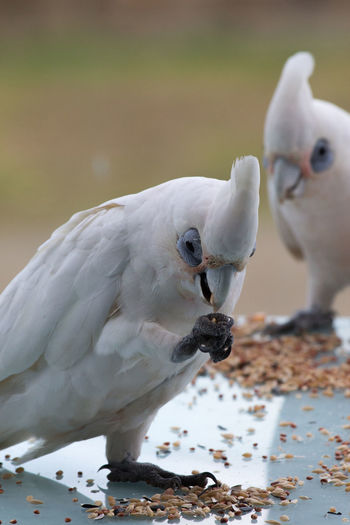 Close-up of little corellas feeding on table