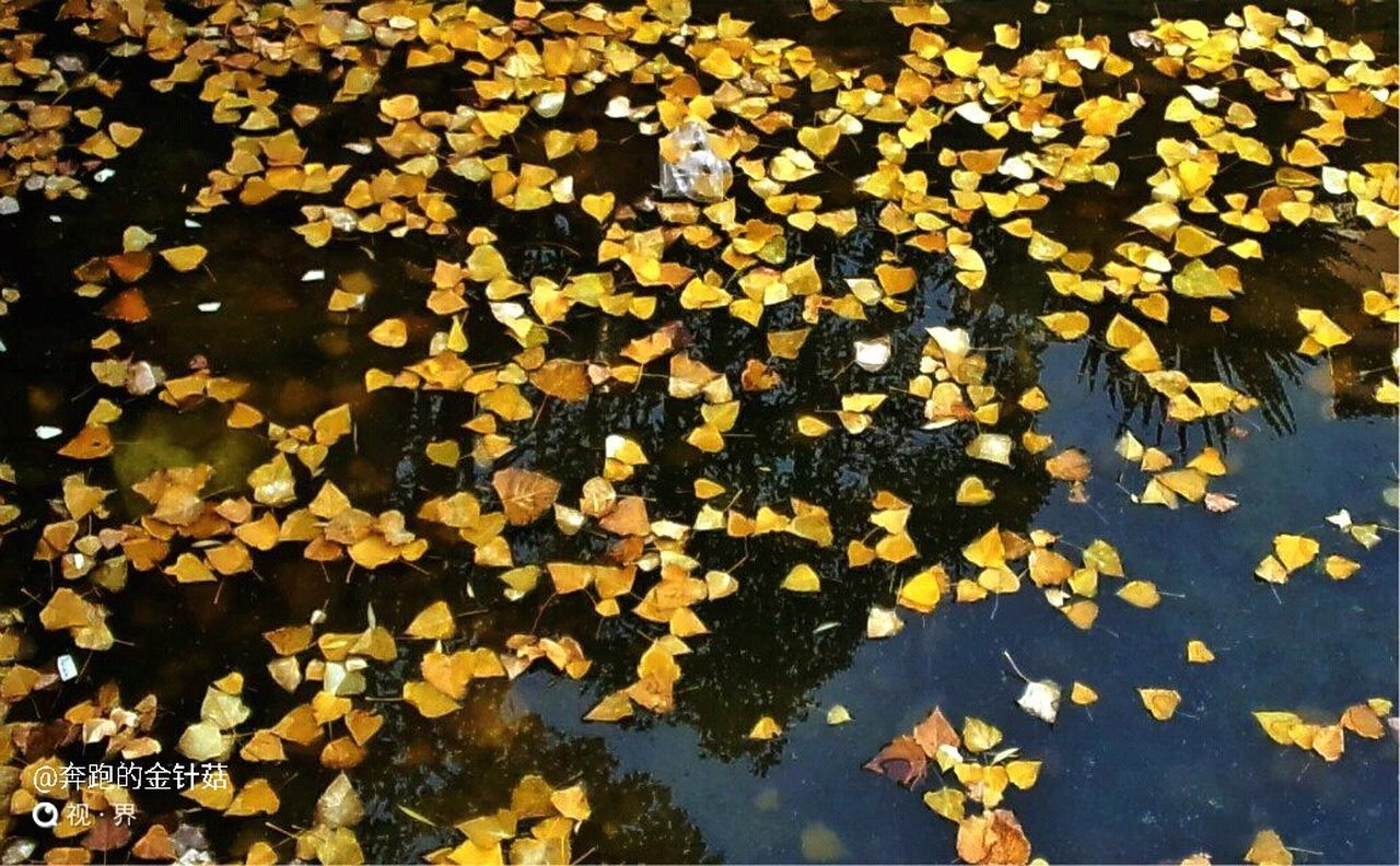 leaf, autumn, yellow, change, flower, nature, day, beauty in nature, fragility, outdoors, abundance, growth, petal, high angle view, full frame, water, freshness, floating on water, no people, close-up, large group of objects, maple leaf, maple, tree, flower head, black-eyed susan