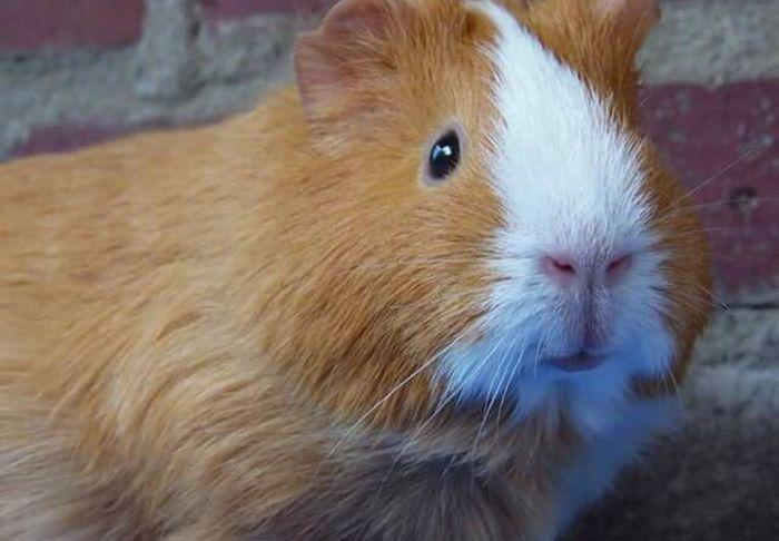 Cavia Guinea Pig Animal Animals Dieren Huisdier Lelystad, The Netherlands Lelystad Animal Selfie My Point Of View