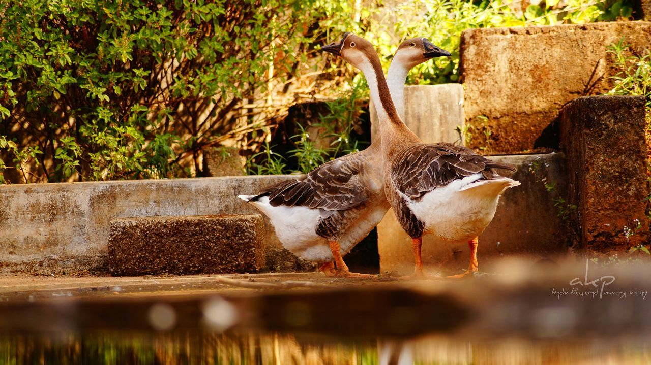 bird, animal themes, animals in the wild, water, animal wildlife, duck, day, nature, no people, outdoors, goose, lake, close-up