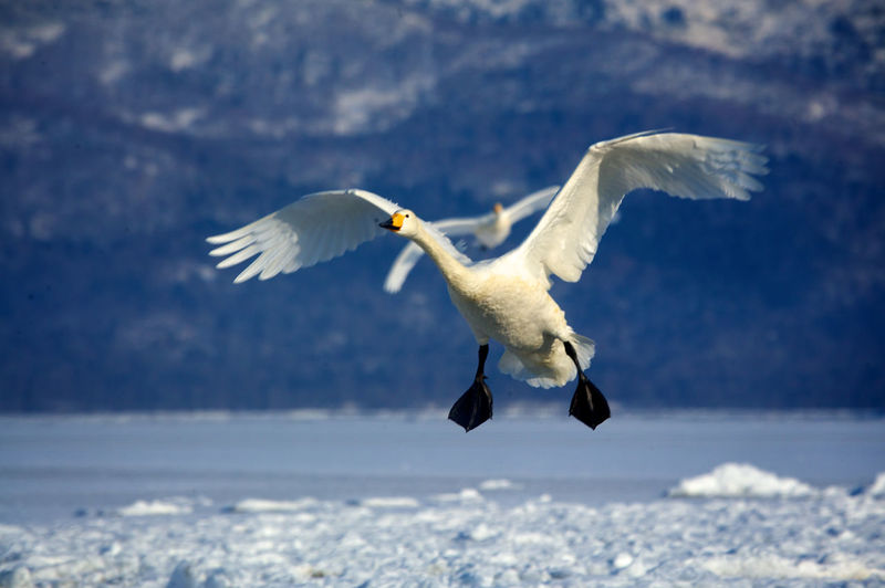 Swan Flying Over Lake