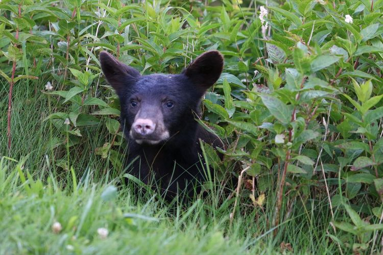 Black Bear in Great Smokey Mountain National Park One Animal Animal Plant Mammal Animal Themes Grass Portrait Looking At Camera Green Color Vertebrate Field No People Day Nature Black Color Land Growth Outdoors Animal Head  Herbivorous Black Bear Great Smokey Mountain National Park