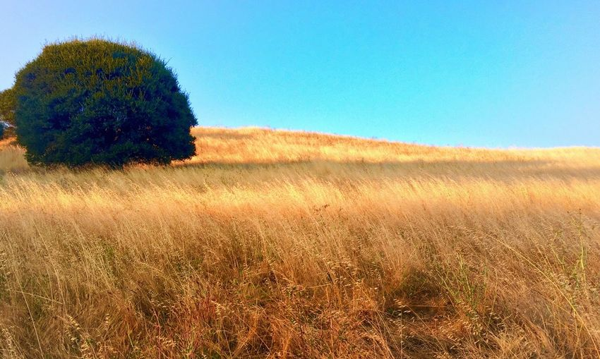 Field Landscape Clear Sky Nature Grass Tranquil Scene Beauty In Nature Tranquility No People Agriculture Blue Day Rural Scene Outdoors Growth Scenics Tree Wheat Sky L. Jeffrey Moore IPhone Photography IPhone7Plus Lost In The Landscape