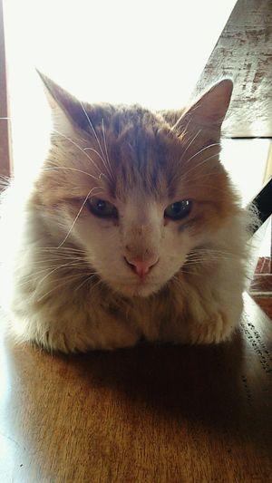 Cat Kitty Lovehim Cute Pets EyeEmAnimalLover Cateyes Catwhiskers Greeneyes