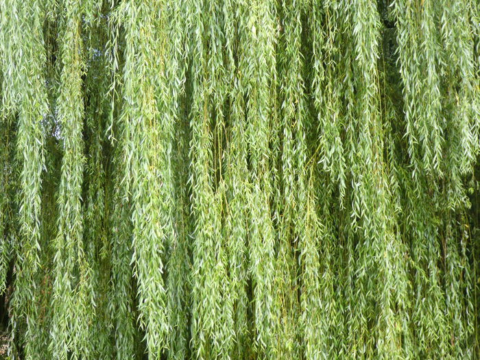 Hanging Willow