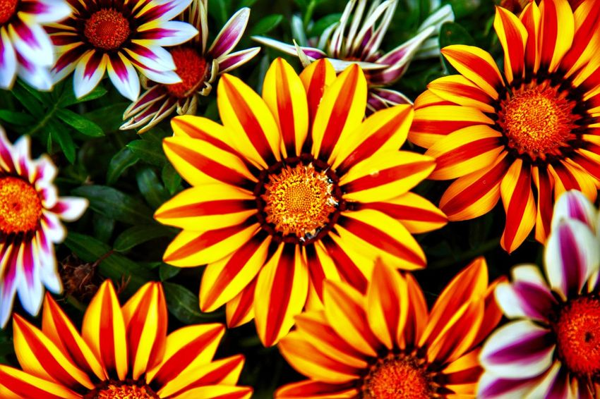 Chrysanthemum Colorful 景山公园 景山 Gazania Chrysanthemum 菊花 勋章菊 花 Flower 中国 China Flowering Plant Flower Flower Head Petal Freshness Inflorescence Fragility Beauty In Nature Plant Pollen Gazania No People Orange Color Coneflower Vulnerability  Close-up Nature Growth Yellow