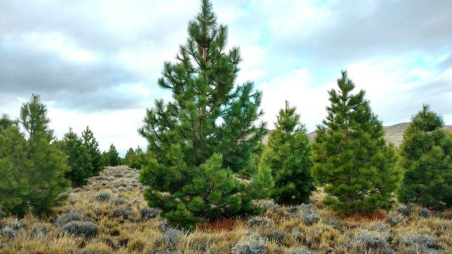 The Big El Grande Arboles The Big Tree Tree El Gran árbol Ponderosa Pine Pino Ponderosa Forest Forestation Forestación The Big One
