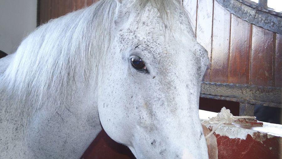 Horse White Horse Animal Animal Love Nature