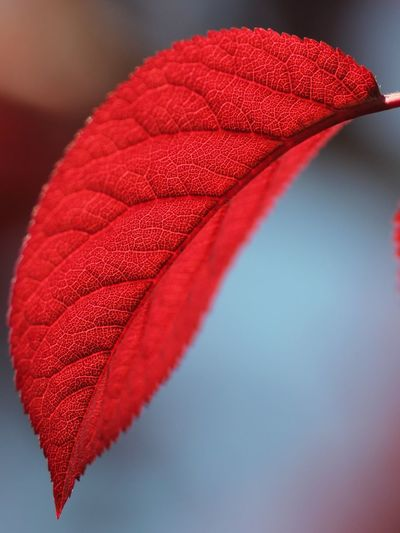 Close-Up View Of Red Leaf
