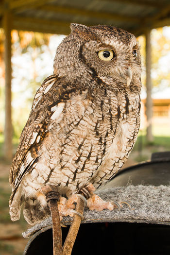 owl on perch Animal Themes Animal Wildlife Animals In The Wild Bird Bird Of Prey Close-up Day Focus On Foreground Nature No People One Animal Outdoors Owl Perching Portrait