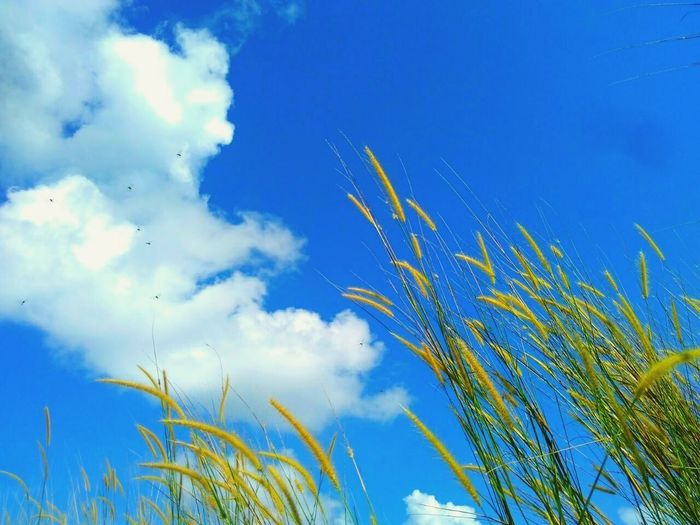 Nature Blue Plant Cereal Plant Growth Sky Summer Agriculture Low Angle View Outdoors Rural Scene Day No People Beauty In Nature Clear Sky Close-up Freshness Popular Photos