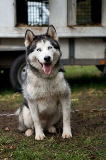 Adorable Dog Animal Themes Close-up Cute Day Dog Domestic Animals Grass Husky Looking At Camera Mammal No People One Animal Outdoors Pets Portrait Sitting Sleddog