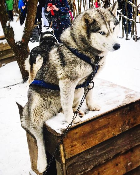 Winter Snow Sled Dog Dog Cold Temperature Animal Themes Domestic Animals First Eyeem Photo