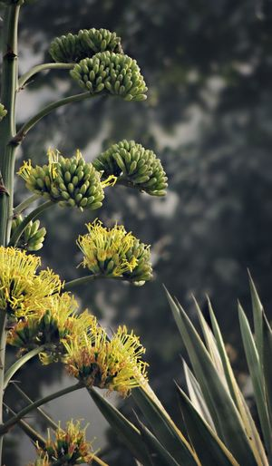 Close-up of agave in bloom