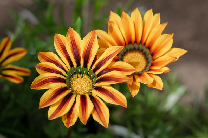 Couple of flowers Flowers EyeEmNewHere Grass Yellow Two Flowers Red Flower Head Flower Petal Gazania Pollen Close-up Plant Blooming