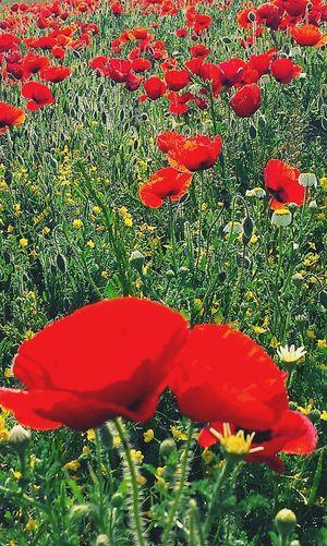 Spring Flowers Popies España
