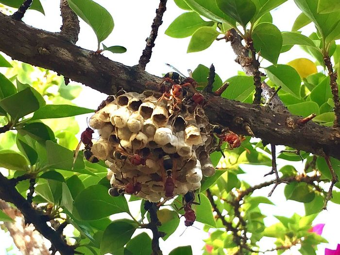 Beehive Honeycomb Bee Animals In The Wild APIculture Tree Animal Themes Honey Bee Honey Low Angle View Outdoors Insect Animal Wildlife Day Nature Branch No People Leaf Large Group Of Animals Colony