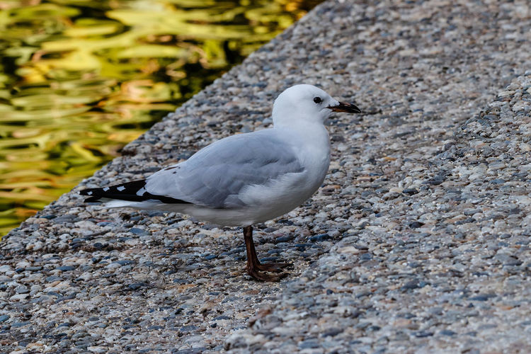 The black-billed gull has the undesirable status of being the most threatened gull species in the world. Though still relatively abundant, numbers of birds throughout the South Island have rapidly declined. Nevertheless, colonies can still number in the thousands. The black-billed gull is found only in New Zealand, unlike our two other common gull species. http://nzbirdsonline.org.nz/species/black-billed-gull Bird Nature Seagull Close-up Black-billed Gul Woodhaugh Dunedin New Zealand EyeEm Nature Lover