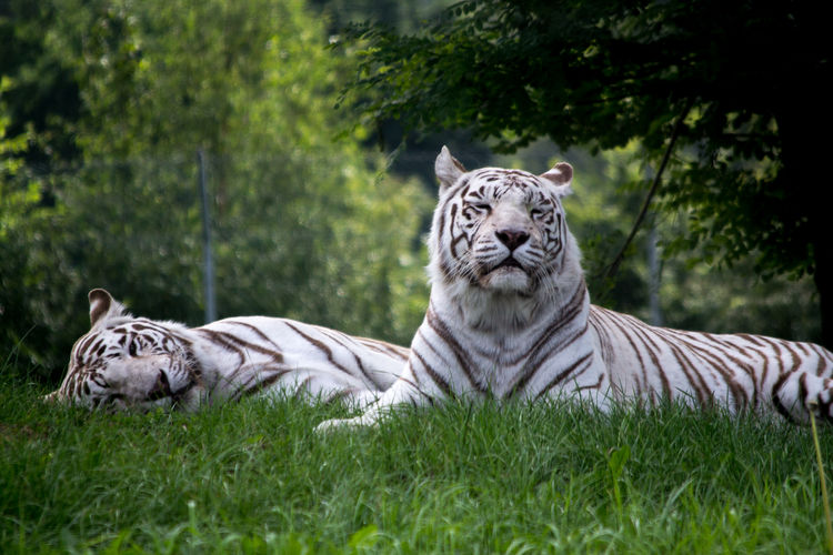Close-Up Of Tigers Resting