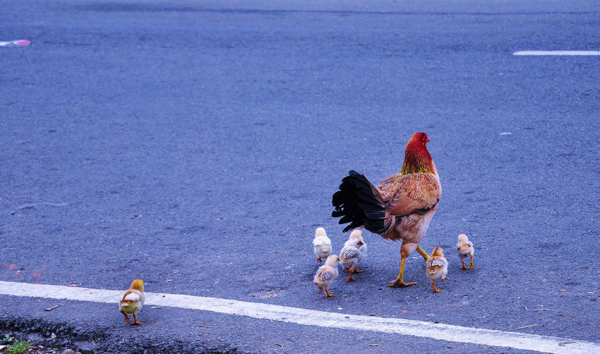 High Angle View Of Chickens Crossing Road