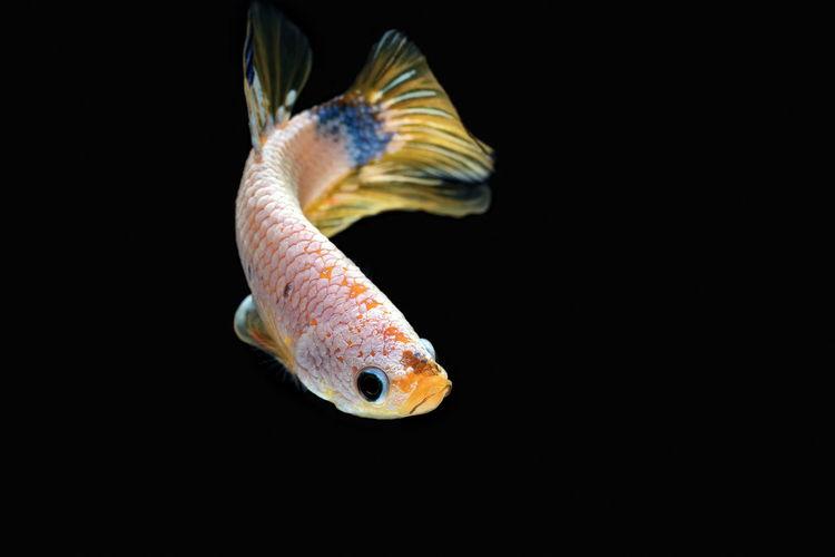 Siamese fighting fish, betta splendens,yellew fish on a black background, halfmoon betta,