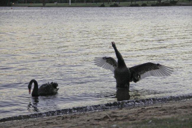Black Swans Bird Black Swan In A Lake Black Swan Swimming Black Swans Nature No People Spread Wings Swans Swimming Water