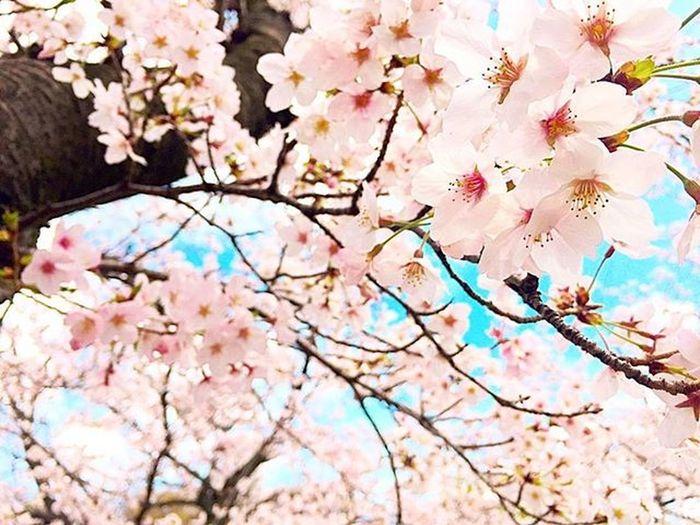 桜満開🌸 春 お花見