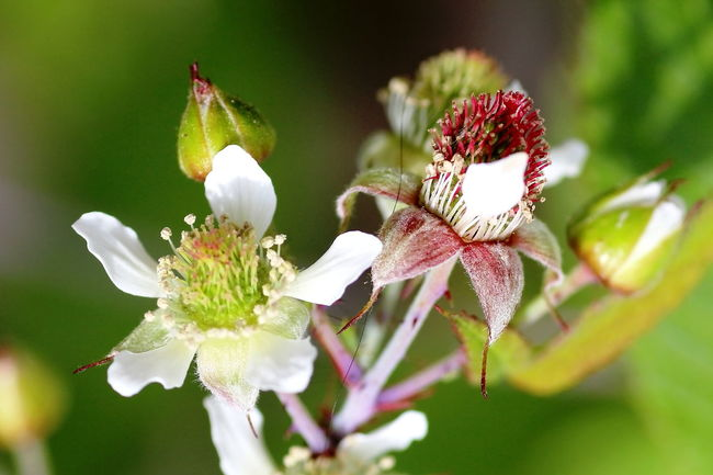 Beauty In Nature Blooming Blossom Botany Day Flower Flower Head Focus On Foreground Fragility Freshness Growth In Bloom Nature Petal Plant Pollen Stamen Stem Blackberry Blackberry Flowers
