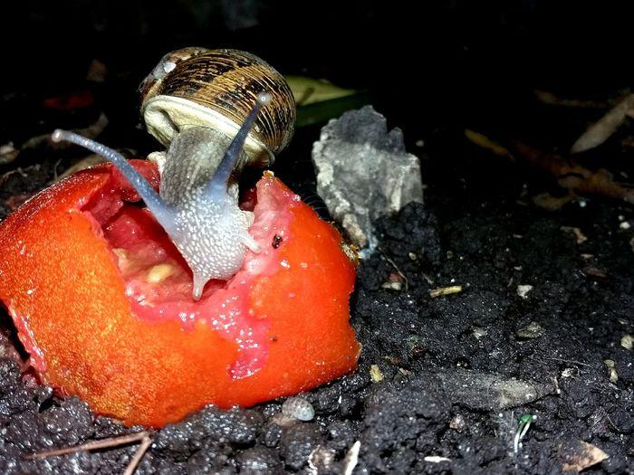 ñam ñam Caracol Fondonegro Comiendo Tomate Quemiras Dejamecomer