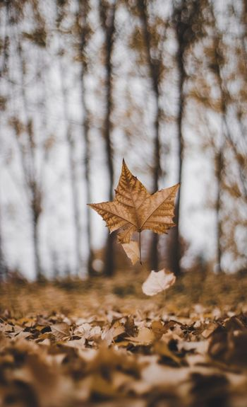 Falling maple leaf during autumn .
