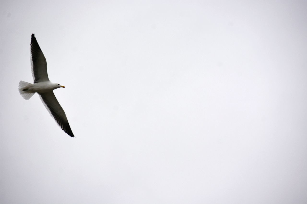 animal themes, vertebrate, flying, animal wildlife, animal, animals in the wild, copy space, one animal, no people, bird, spread wings, mid-air, motion, sky, day, nature, low angle view, clear sky, studio shot, indoors, seagull